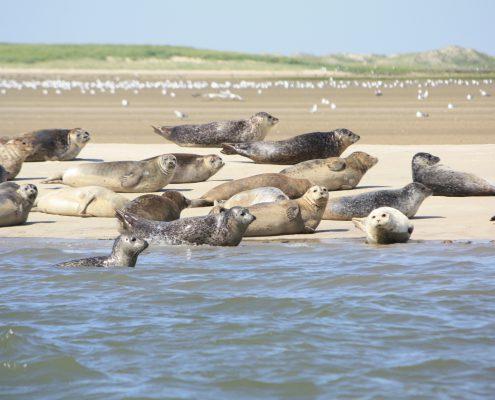Seehunde auf der Sandbank © Janina Voskuhl